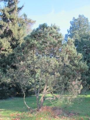 Pinus edulis aux CJBG