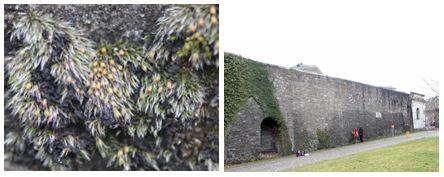 Grimmia crinita