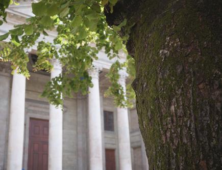 Tilleul de la Cathédrale de Saint-Pierre