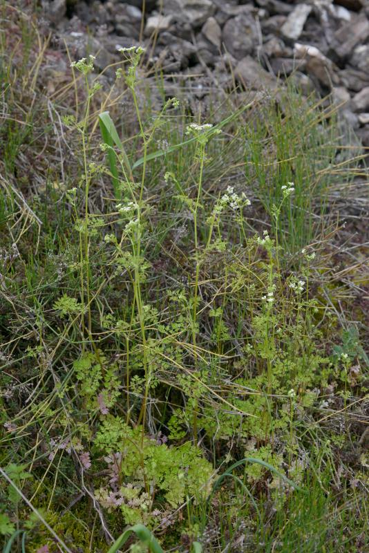 1003990_Anthriscus_cerefolium_BB__DSC0101.jpg
