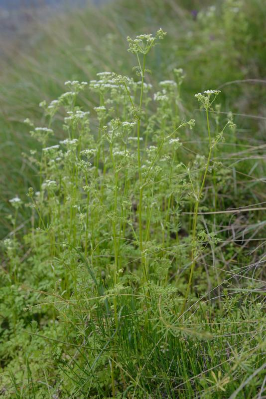 1003990_Anthriscus_cerefolium_BB__DSC0103.jpg