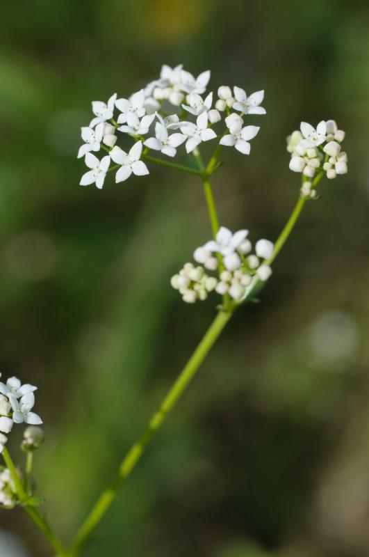 1020570_Galium_palustre_BB_DXC2328.jpg