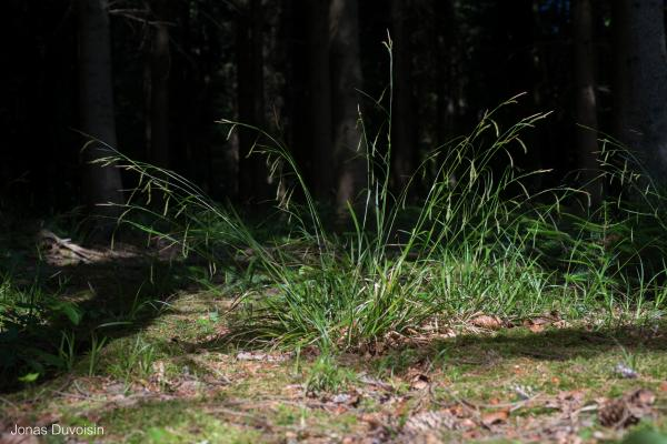 Carex_sylvatica_JDuvoisin_1.jpg