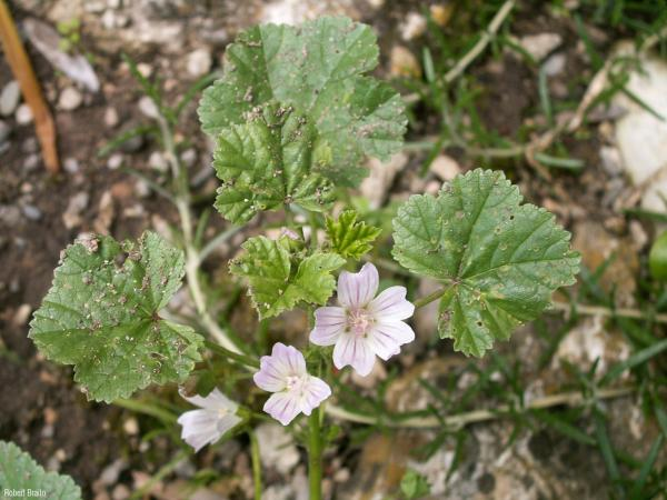 Malva_neglecta_RB_01.jpg