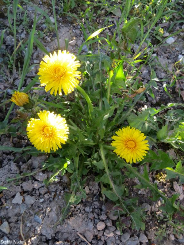 Taraxacum_officinale_SPA_02.jpg
